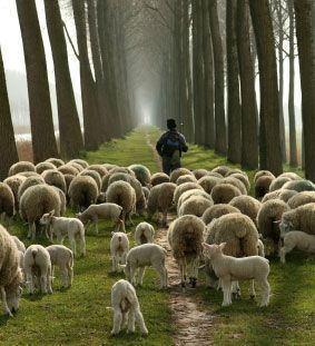 sheep_shepherd